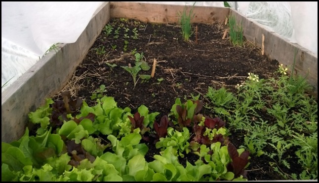 Lettuce_20140516_Pro