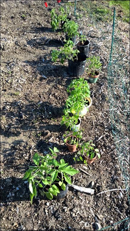 tomatostarts16_1