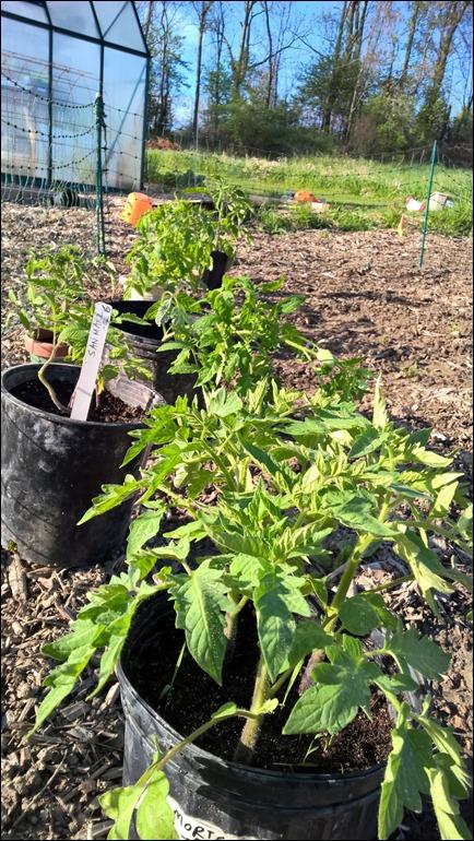 tomatostarts16_2